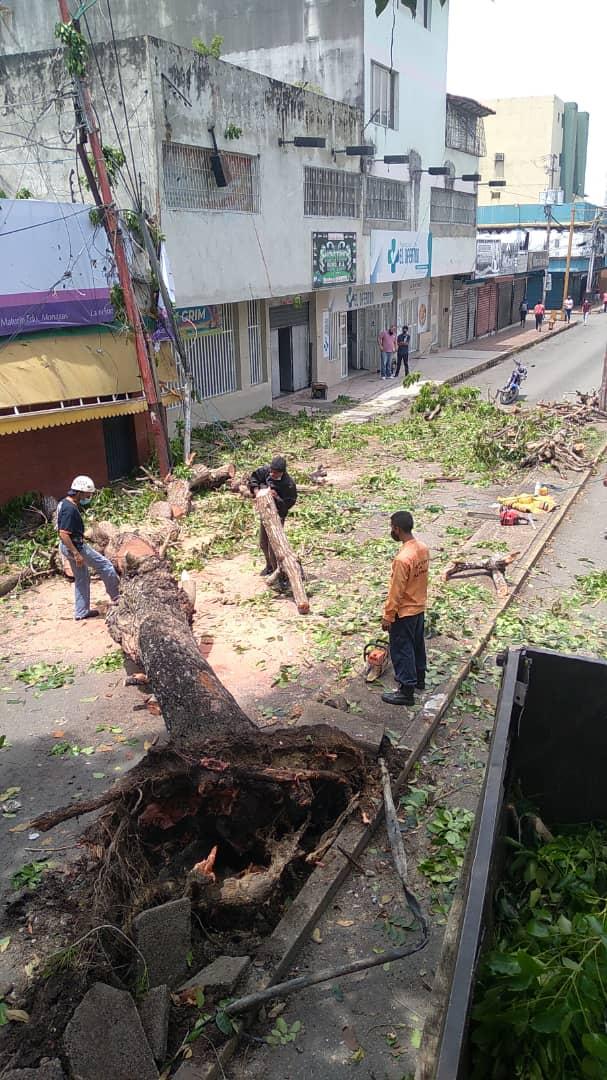 desplome de arbol en la avenida miranda dejo sin electricidad e internet a parte de maturin laverdaddemonagas.com arbol8