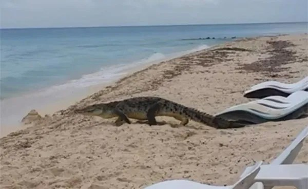 VIDEO: This is how they captured a crocodile in Cozumel on a beach to relocate it