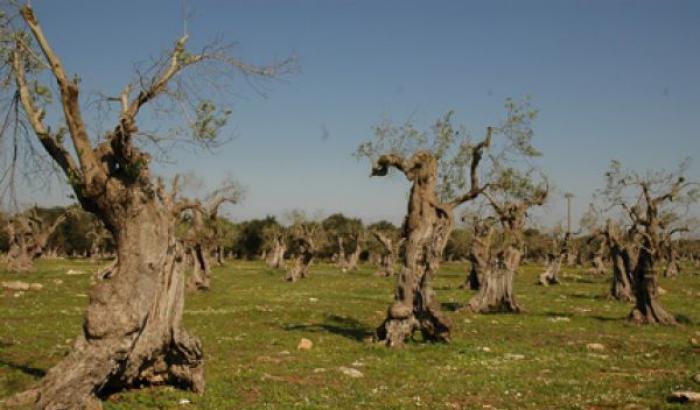 Troveranno pace gli olivi pugliesi flagellati dalla xylella?