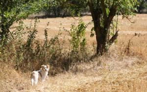 Cane Pippi nei campi