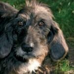 L'età del cane e la regola (sbagliata) del 7