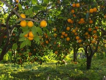 Fresh-Moroccan-Orange.jpg_350x350