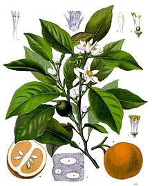 Citrus_aurantium_-_neroli