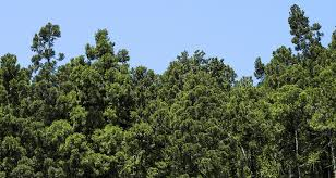 Hinoki (Japanese cypress)