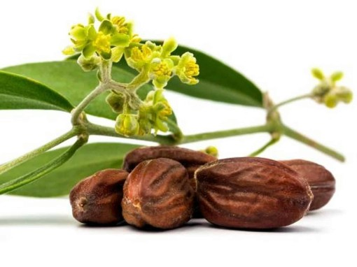 jojoba-simmondsia-chinensis-seeds-edible