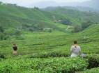 6 boh tea (4)