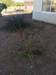 weeds_irrigation_az_85614_85629