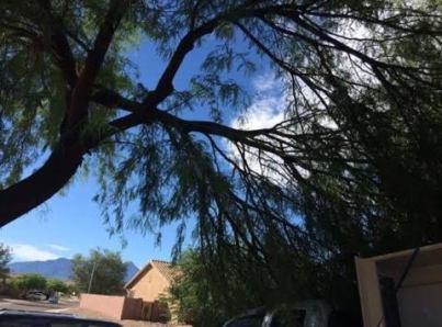 Monsoon AZ Tree