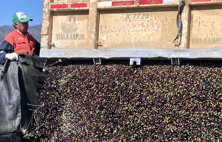 Productores chilenos trabajan en la cosecha frente a COVID-19