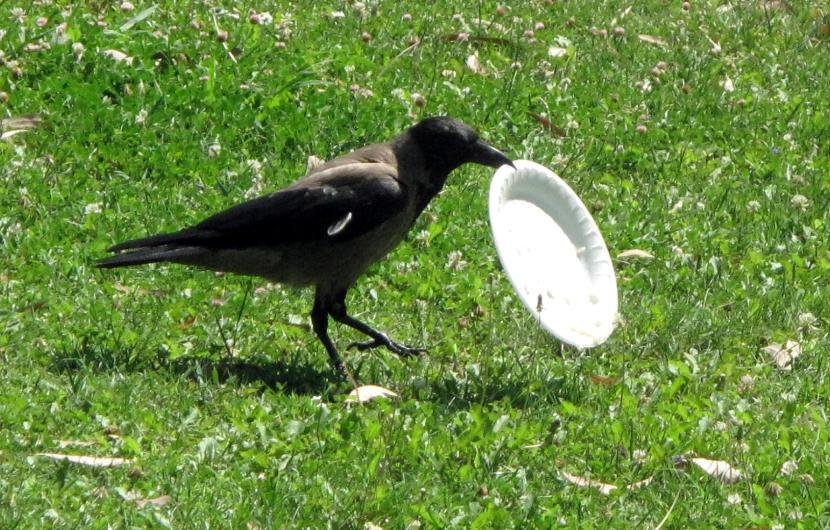cuervo concienciado 3