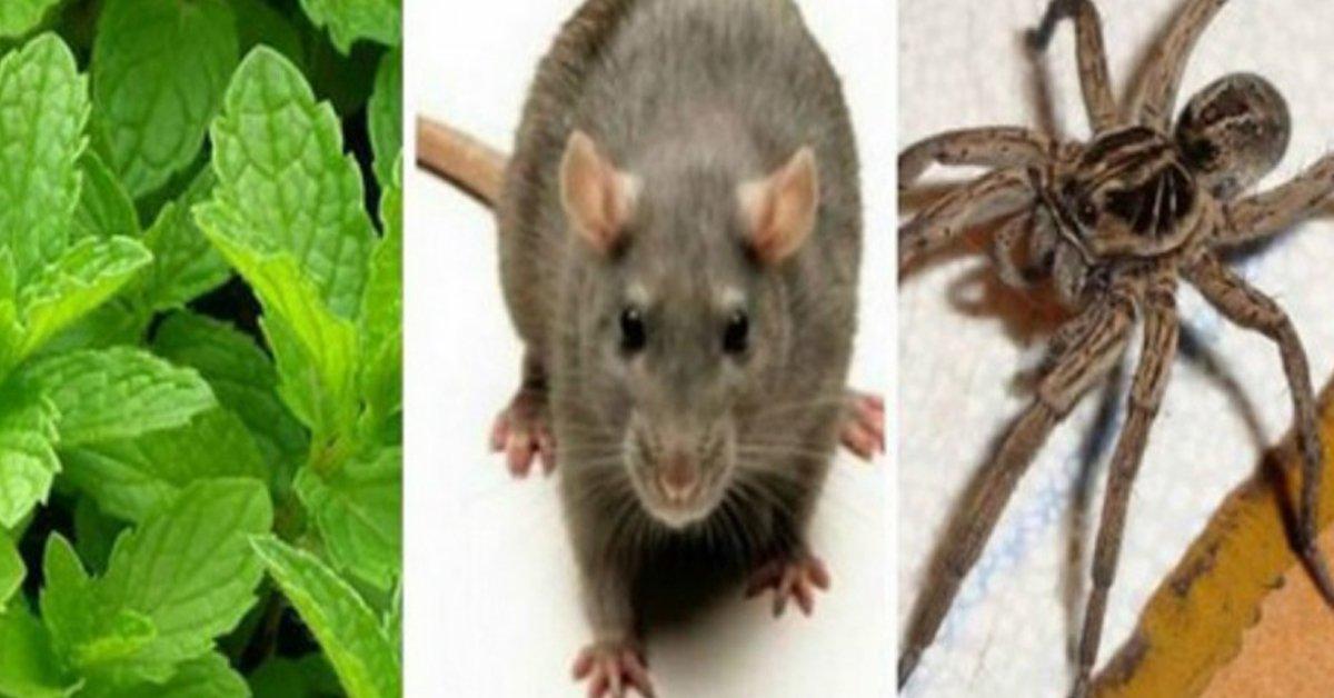 La planta que repele a insectos y ratones y que podemos