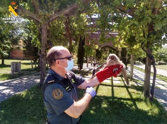 La Guardia Civil imputa a dos jóvenes de El Viso por la venta de pollos de cernícalos