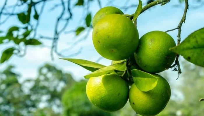 fertilizer for citrus