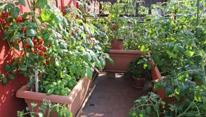 Grow-Tomatoes-on-a-Balcony