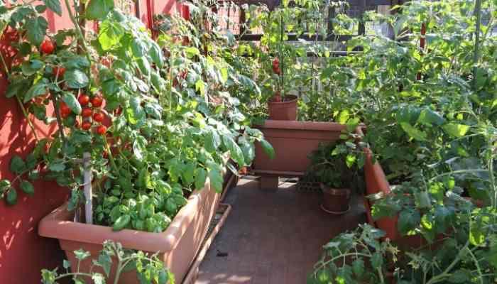 Grow-Tomatoes-on-a-Balcony