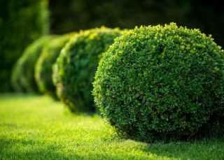 7 Best Fertilizer for Boxwood