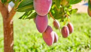 Best Fertilizer for Mango Tree