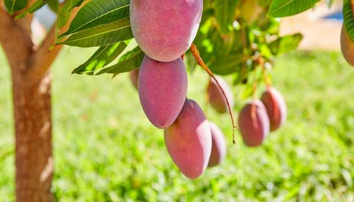 Best Fertilizer for Mango Tree