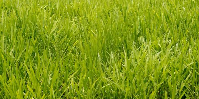 How Long Does Ryegrass Last