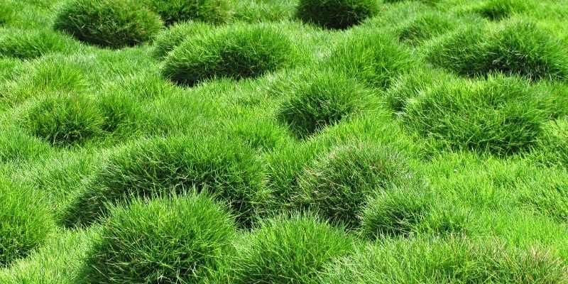 Zoysia-grass