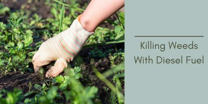 Killing Weeds With Diesel Fuel
