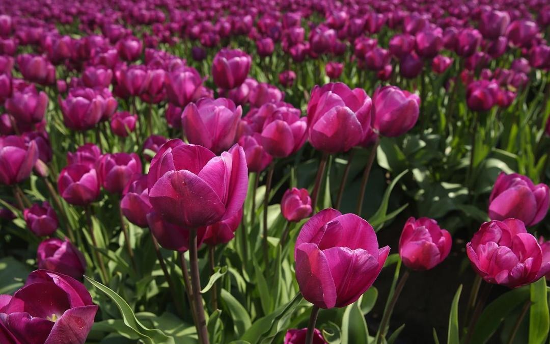 Is the Passive Indexing Craze the New Tulip Bulb Mania?