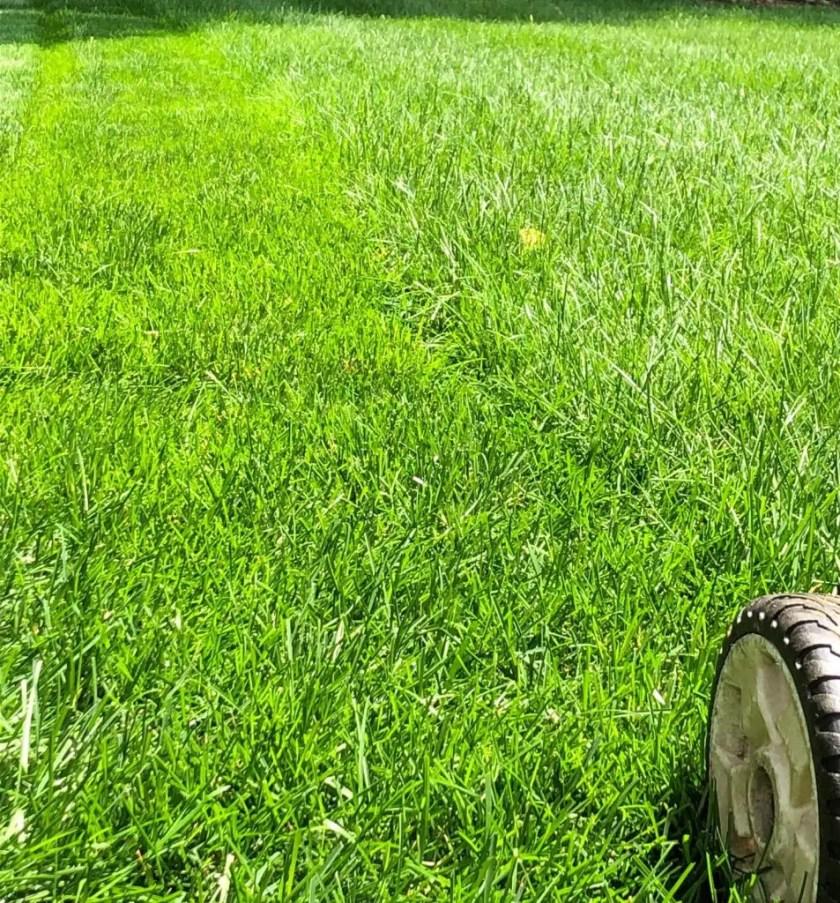 mowqing-lawn-tall-in-summer