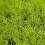 Lawn Care for Buffalo Grass in Vero Beach