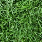 Lawn Care for Zoysia Grass in Vero Beach