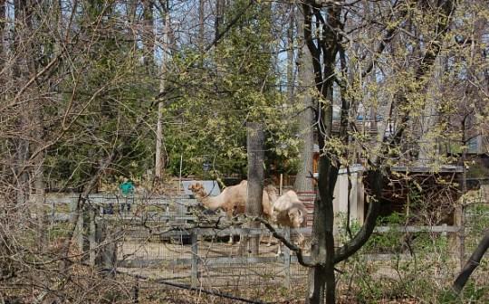 Lansing River Trail camels