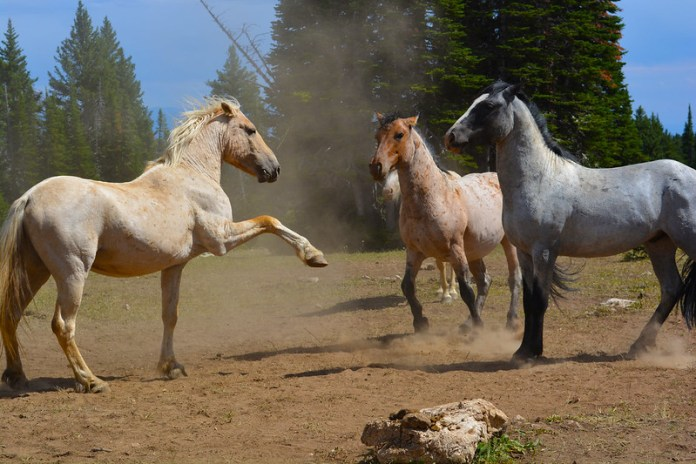 Three Pryor Mountain Mustangs in a field in Montana