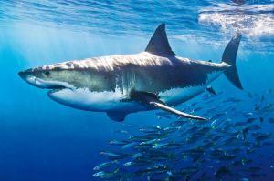 Shark 6