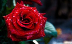 rose-day-2013-wallpaper-for-valentinesday (11)