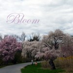 Bloom cherry blossoms
