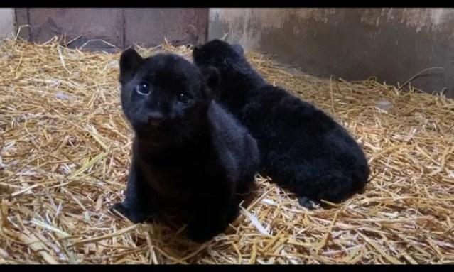 Nacen dos jaguares melánicos en el Zoológico de Morelia