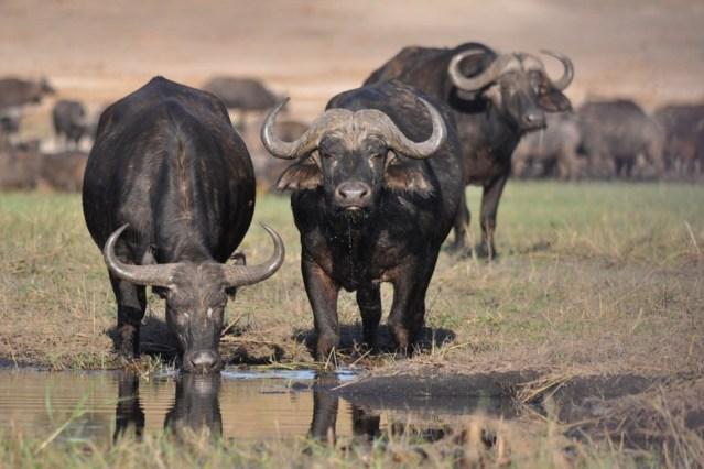 Búfalos se emborrachan y revelan producción ilegal de alcohol en India