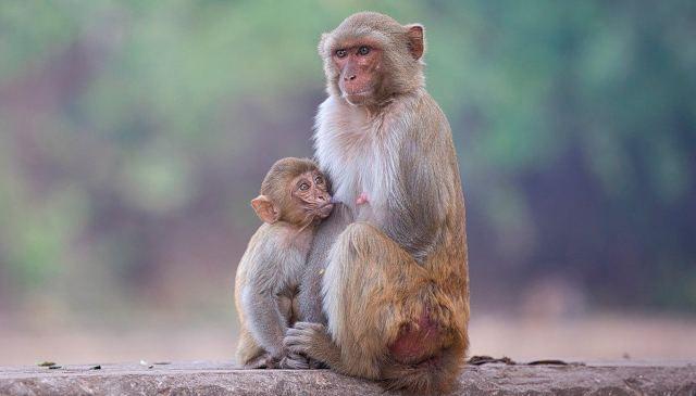 Primer chimpancé albino visto en estado salvaje fue asesinado cruelmente por su grupo