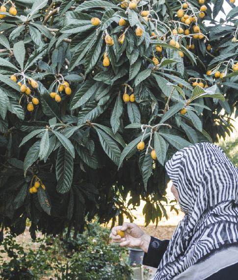 Grandma Picking loquats from her garden