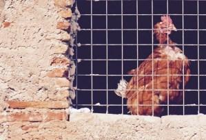 Une poule sur un mur qui picote