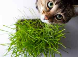 Catnip plants repel mosquitoe and are loved by cats