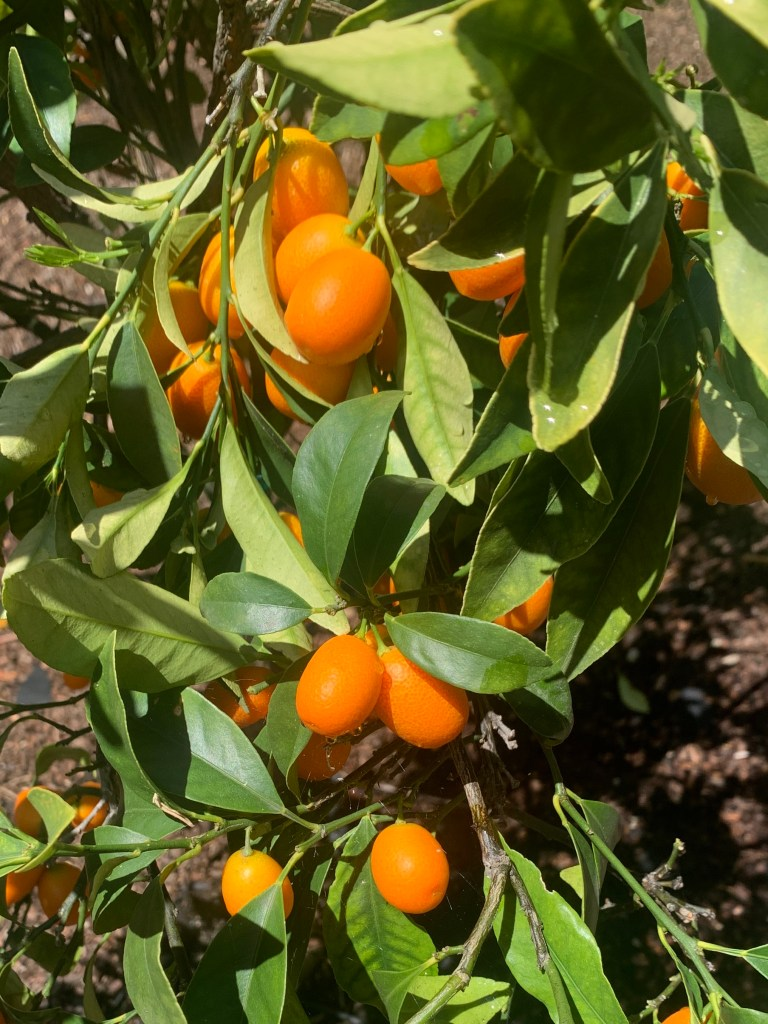 Kumquat_shrubs