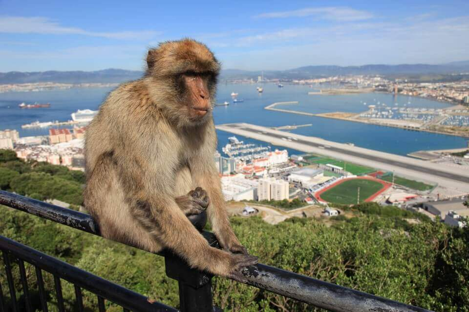 Barbary Ape, Gibraltar Airport in background