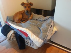 """Tucker was all """"tuckered"""" out from all of the excitement and decided to rest in our laundry basket."""