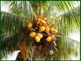 Coconut Palm at The Farm