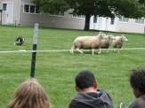 Border Collie Sheep Herding
