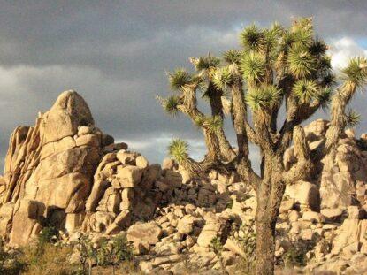 JOSHUA TREE – STRANGE DESERT PLANT
