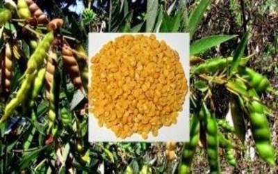 Beejamrutha- Increasing immunity and germination in seeds