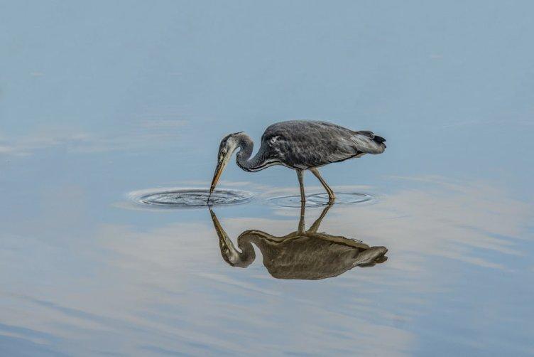 Grey Heron by Brian Sankey