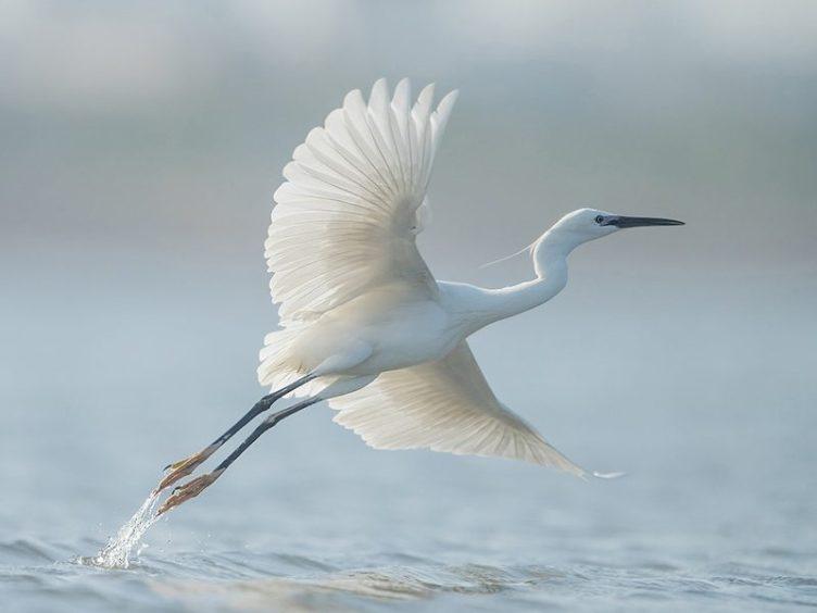 Dave Woodhead 'Egret Take Off '