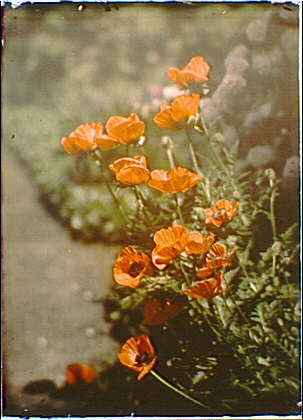 California golden poppies. Arnold Genthe, photographer. Autochrome made between 1906 and 1911. (Library of Congress)